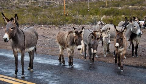 burro22