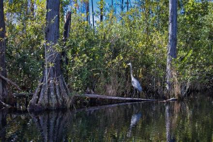 okefanokee swamp1